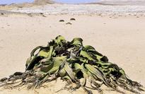 Welwitschia Mioulane MAP NPM GIP0071762