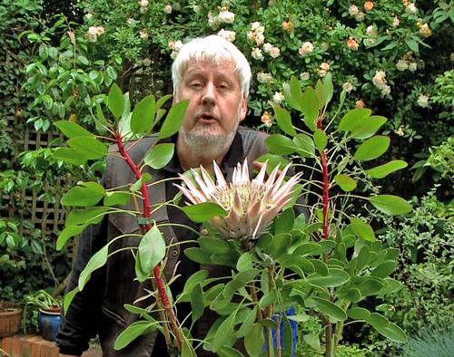 Patrick Mioulane Protea cynaroides NewsJardinTV
