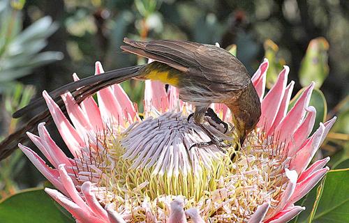 Promerops cafer Protea Fauna