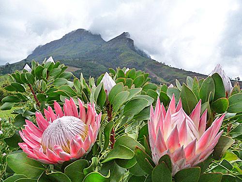 Protea cynaroides Biotope Flora