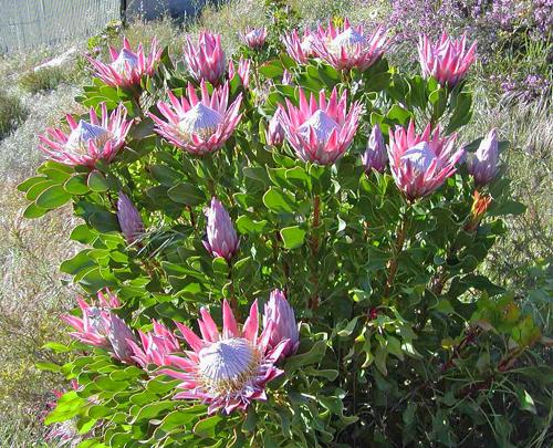 Protea cynaroides king madiba Flora