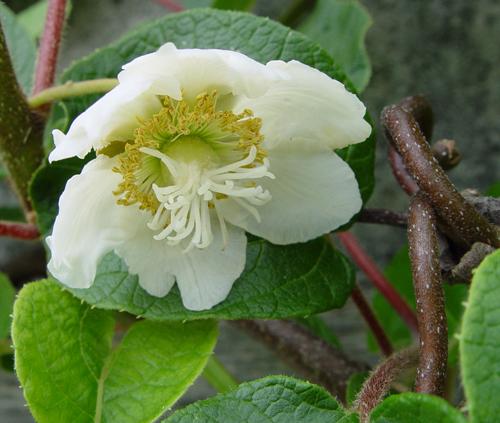 Kiwi Fleur Femelle