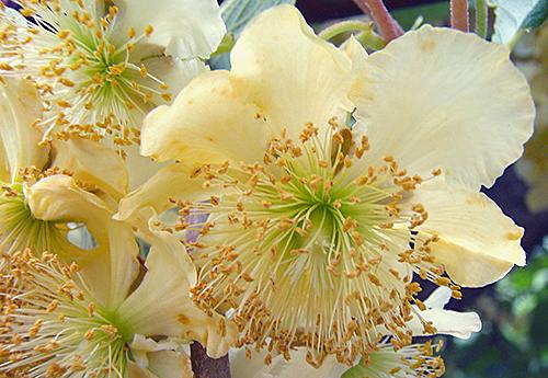 Kiwi Male fleur