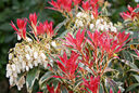Pieris Flaming Silver Mioulane NewsJardinTV