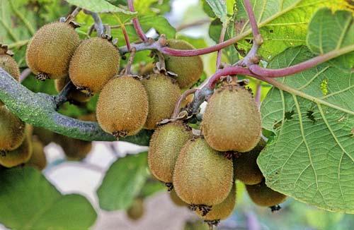 Actinidia chinensis NPM GIP0008689