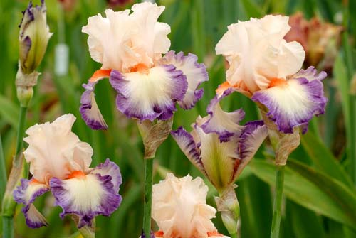 Iris Folie Douce NPM 850316020