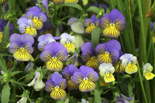 Viola cornuta NPM 914377942