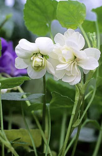 Viola odorata JMR GIP0100830