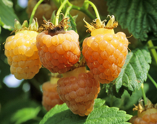 Framboise Goldenberry NewsJardinTV MAP GIP0025555