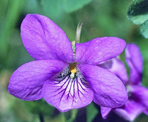 Viola odorata MAP GIP0100829