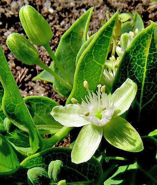 Basananthe sandersonii Flora