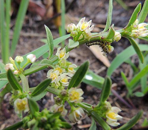 Brachystelma sandersonii Flora