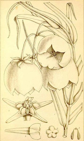 Pachycarpus Sanderson