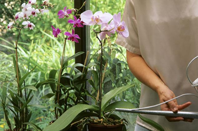 Arrosage_orchidee