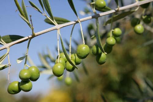 Branche olives