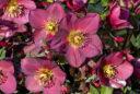Helleborus Ice N Roses Plante Heuger