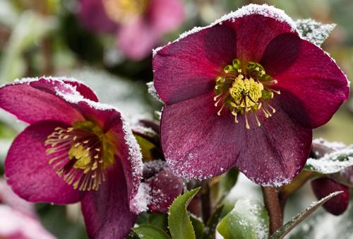 Helleborus Ice N Roses Neige Heuger