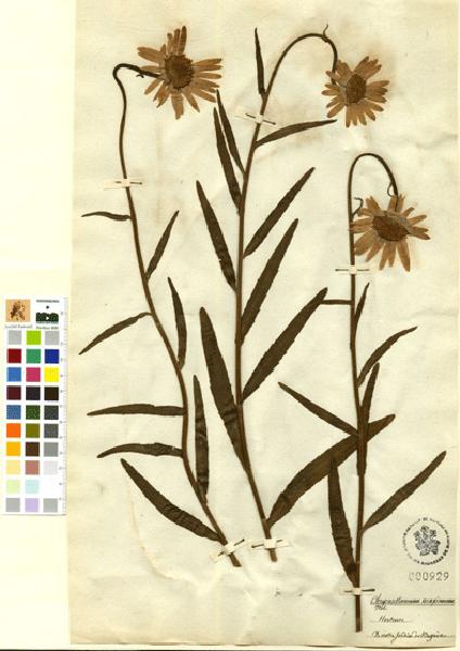 Chrysanthemum Ramond Herbier