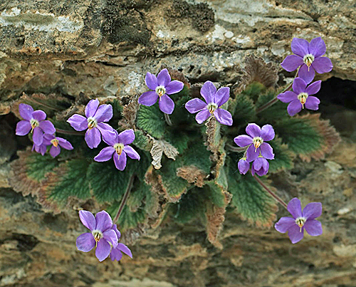 Ramonda nathaliae Flora