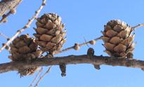 Larix decidua hiver Flora