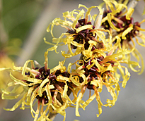 Hamamelis Mioulane MAP NPM 100330143