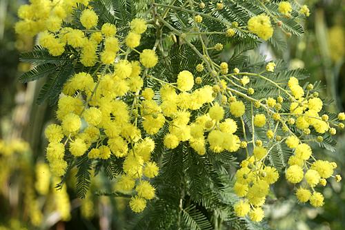 Mimosa Gaulois Astier Mioulane MAP NPM 850373027