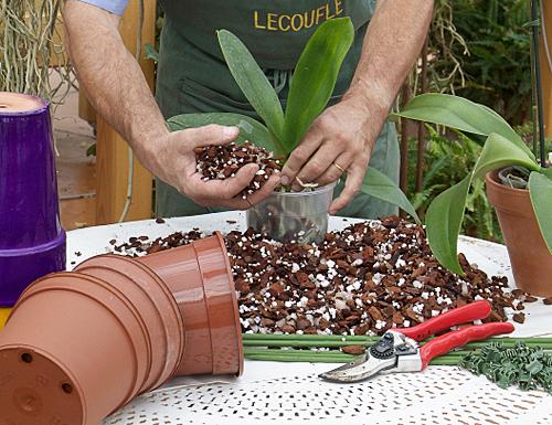 Rempotage orchidee MAP NPA 061026037