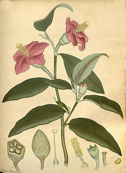 Hibiscus patersonius Andrews 1803