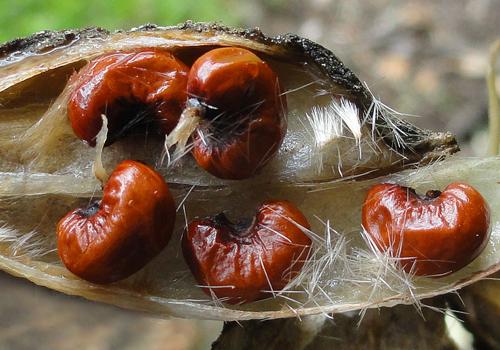 Lagunaria patersonia Graines Phil Bendle
