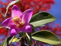 Lagunaria patersonia Petite Flora