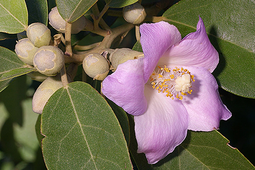 Lagunaria patersonia Walters