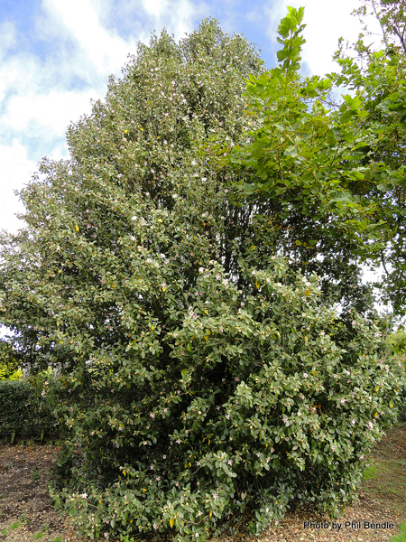 Lagunaria patersonia Buisson Phil Bendle