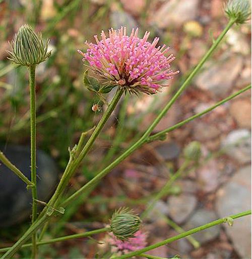 Dicoma schimperi fleur
