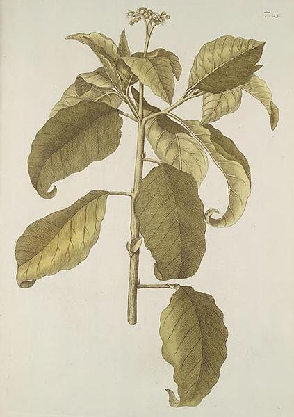 Hortus botanicus vindobonensis Solanum