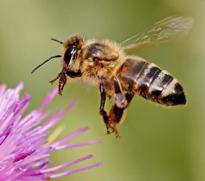 Abeille butineuse Pollinisateur Fauna