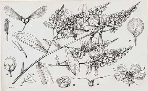 Acridocarpus Flora Tropical Africa