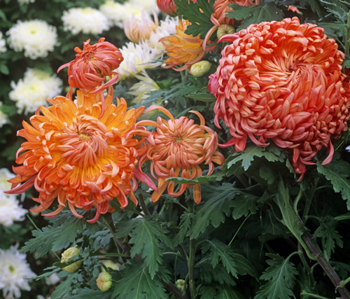 Chrysantheme Grosse fleur Mioulane NewsJardinTV NPM GIP141021011