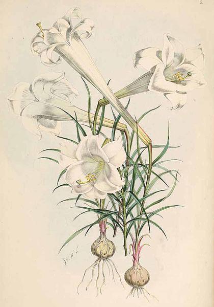 Lilium philippinense Elwes