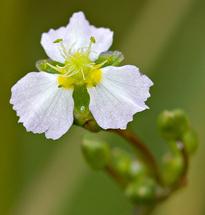 Alisma Plantago Plantain aquatique Fischer