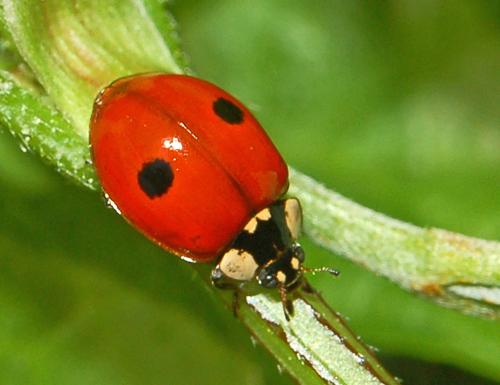 Adalia bipunctata Fauna