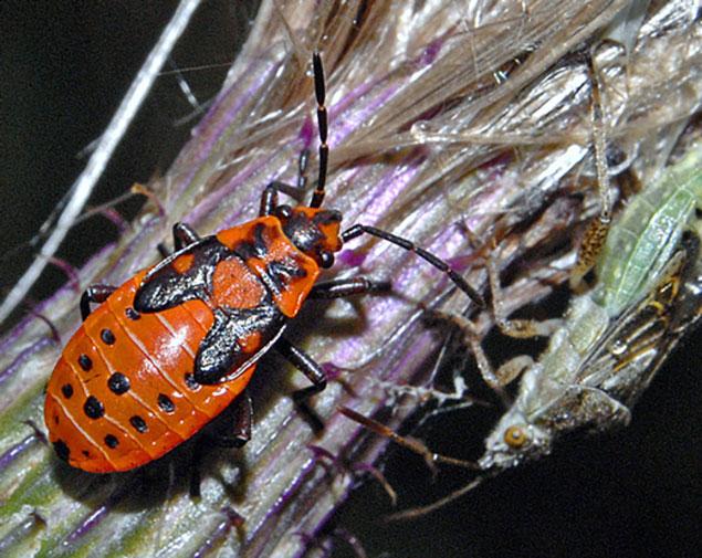 Gendarme insecte
