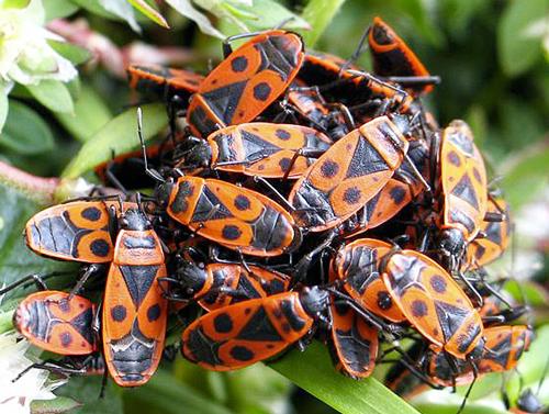 Gendarmes pyrrhocoridae Fauna