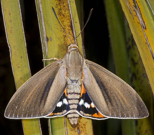 Paysandisia archon Male