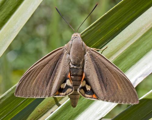 Paysandisia archon femelle 130706