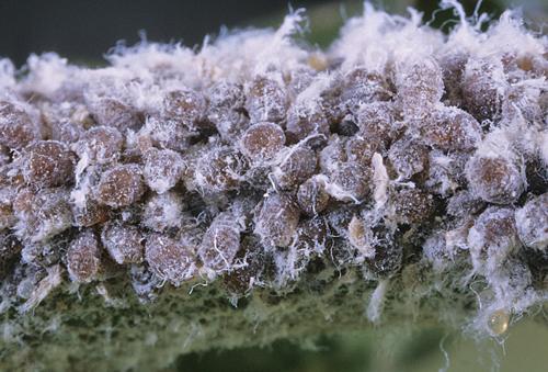Puceron Lanigere Eriosoma lanigerum INRA