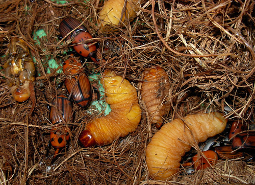 Rhynchophorus ferrugineus larves adultes Fauna