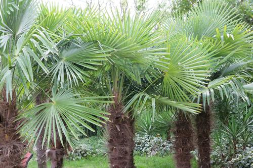 Trachycarpus fortunei Mioulane NewsJardinTV NPM 071129090