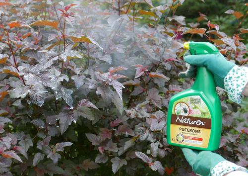 Traitement Insecticide Huile Pretalemploi Mioulane NewsJardinTV P1160480