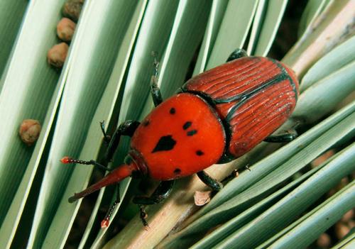 rhynchophorus ferrugineusadulte Fauna