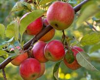 Pomme Flora